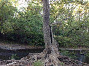 Tree at Big Chico Creek, California, JHD