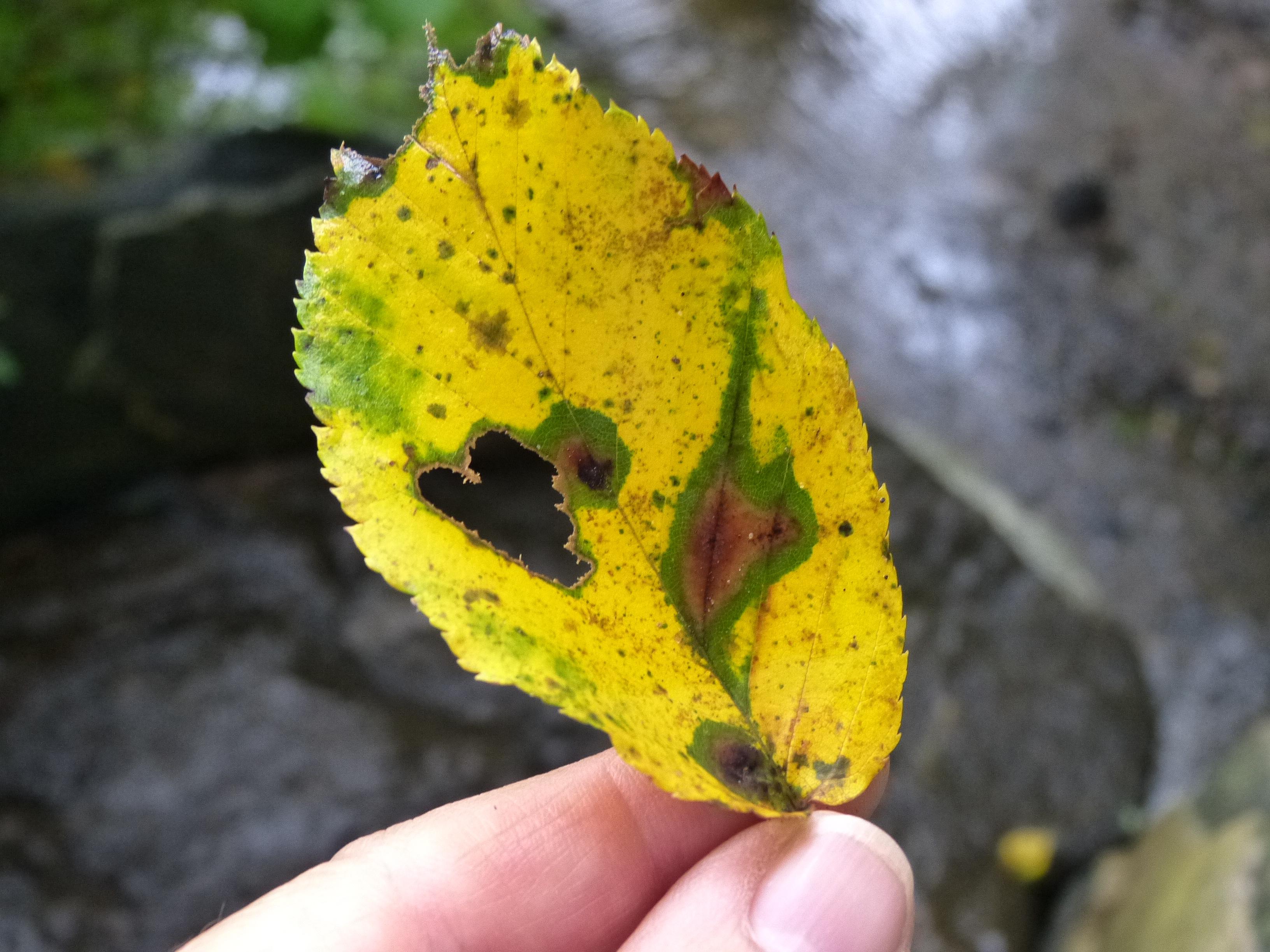 Heart Leaf for Tashlich, JHD