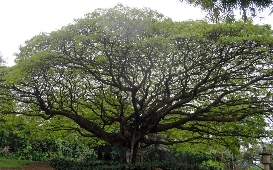Tree in Pahoa, Hawaii, Howie Morningstar