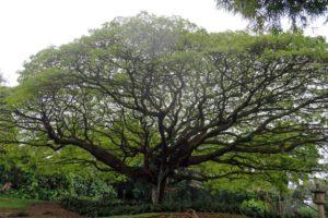 Tree in Pahoa, Hawaii, Howie Morningstar