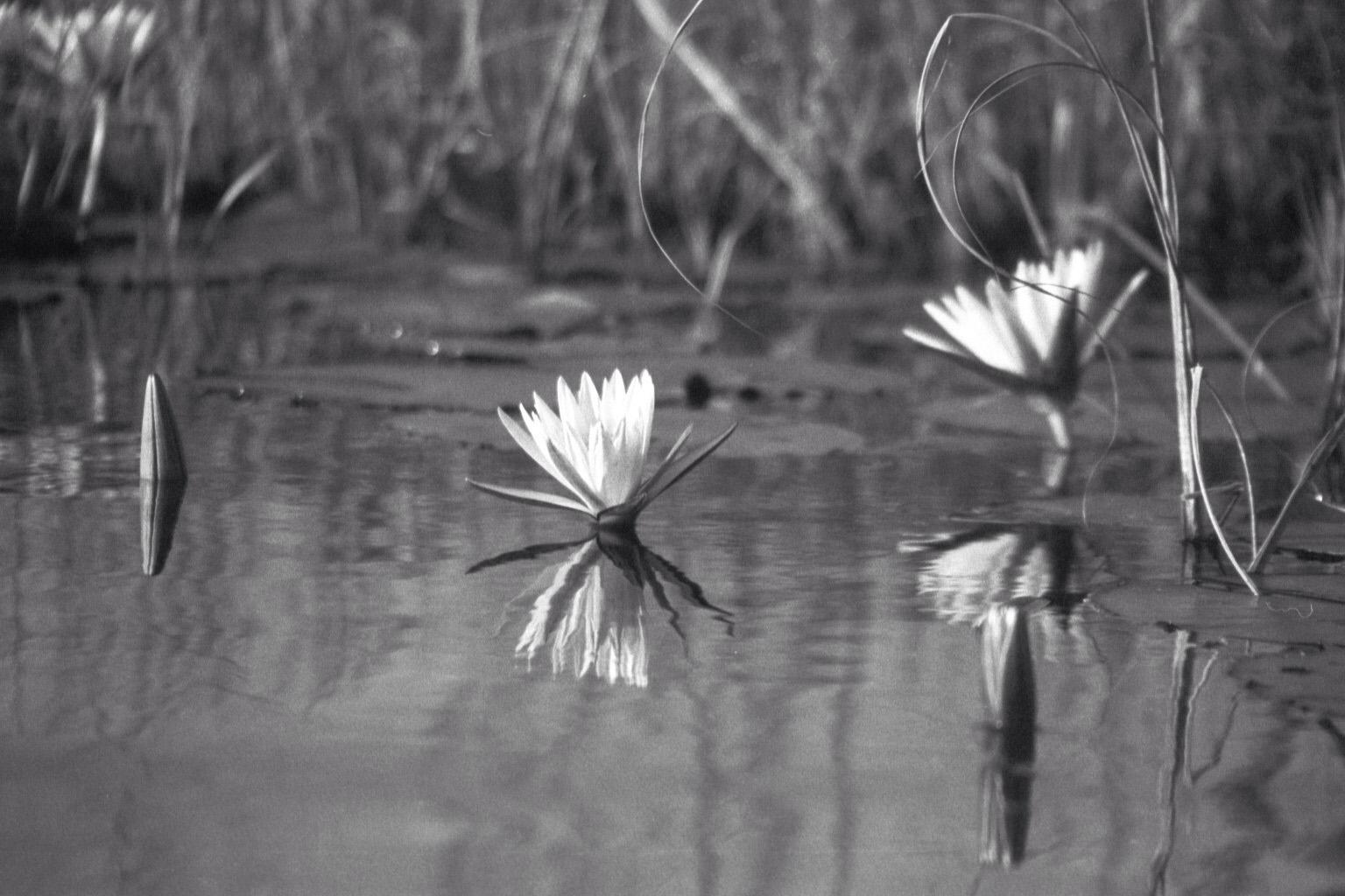 Water Lillies in Botswana