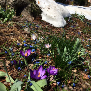 Spring flowers and snow