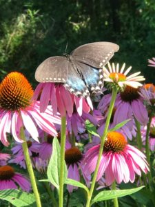 Butterfly on Purple Cone Flower (Echinacea), JHD