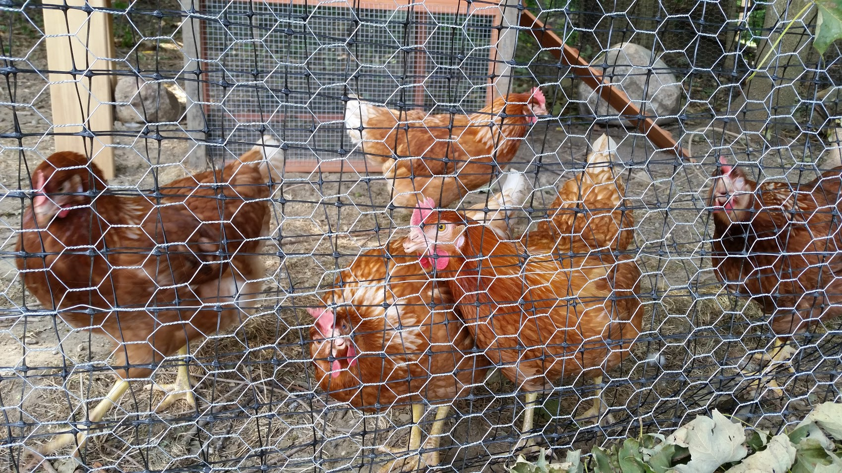 chickens and plantings at synagogue farm