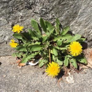 Dandelion flowers, JHD