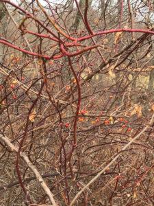 Thorns bushes, JHD
