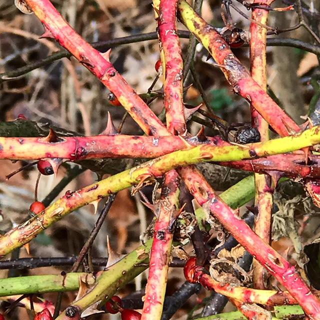 Winter Thorn Bush at Rockefeller Park, JHD