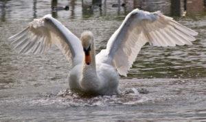 Swan Wings by David Hergarty via Flickr