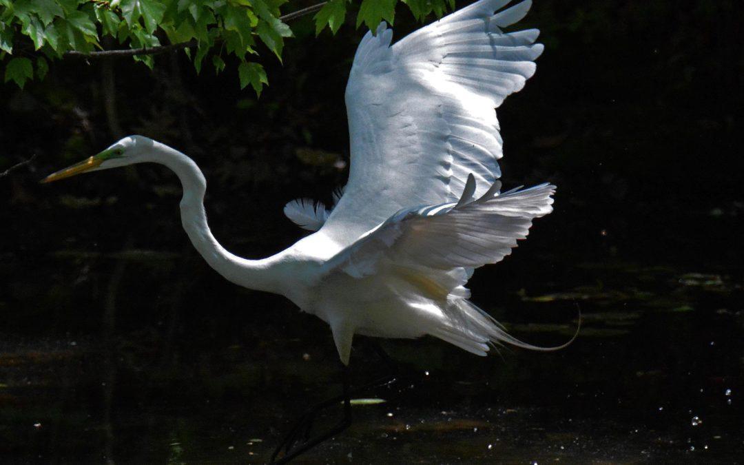 Egret at Rockefeller State Park Preserve, Frank Becker