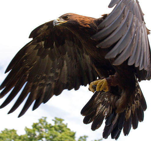 Golden Eagle in flight , UK, Tom HIsgett, via Wikimedia Commons