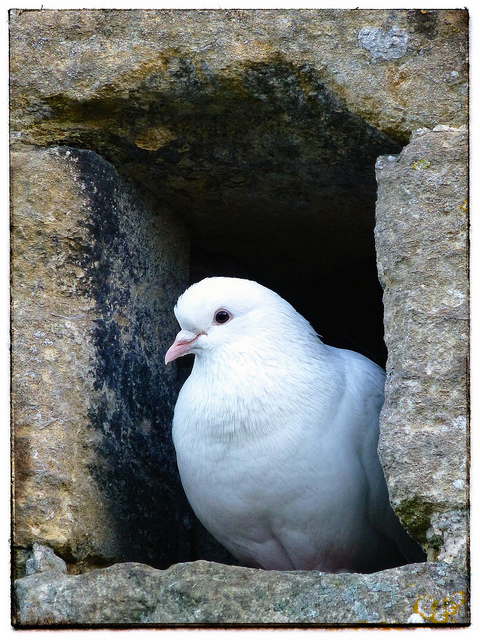 Dove by Cycling Man via Flickr