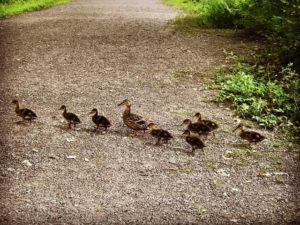 Duck family, JHD