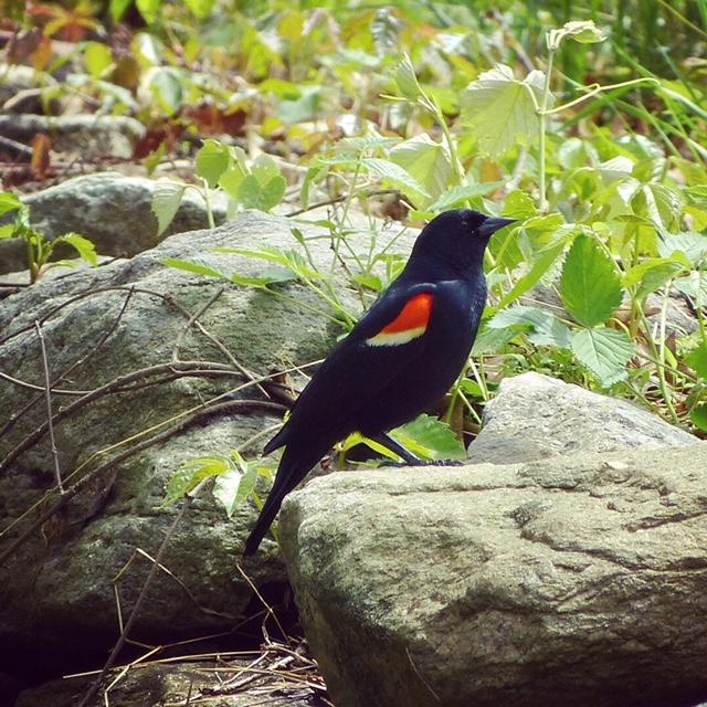 Redwinged Blackbird, JHD