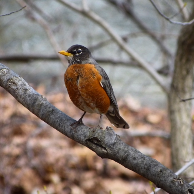 Robin, New York Botanical Garden, Julie Danan