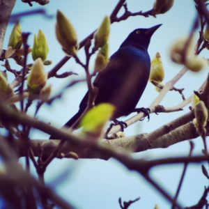Grackle, JHD