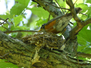 American Robin in Nest
