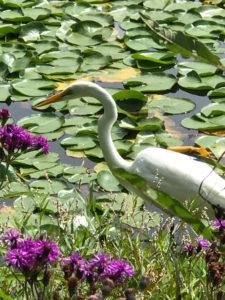 Great Egret, JHD