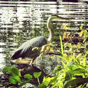 Great Blue Heron, JHD