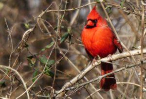 Northern Cardinal, Frank Becker