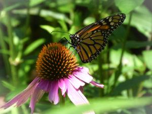 Monarch at Rockefeller State Park Preserve, Julie Danan