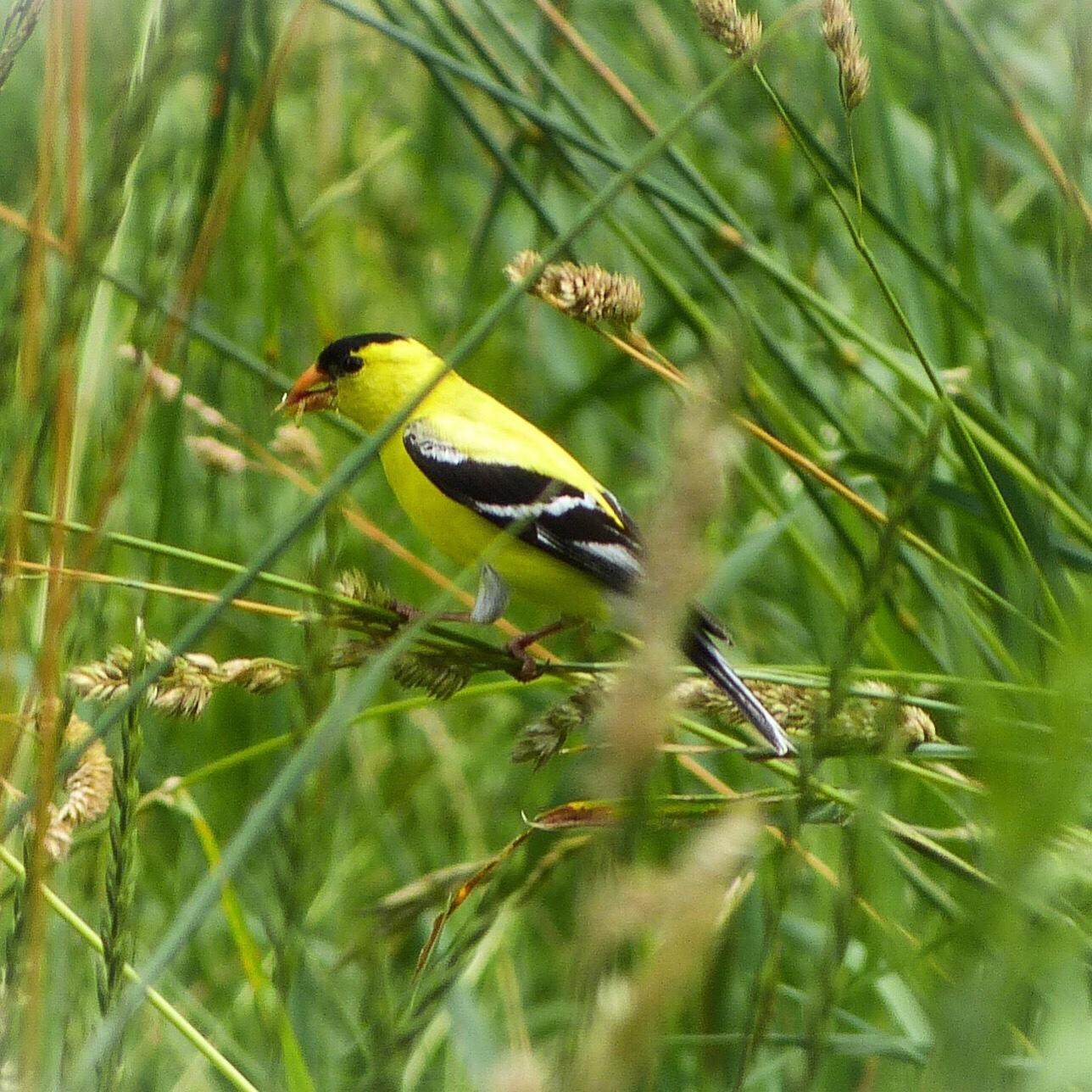 American Goldfinch, JHD
