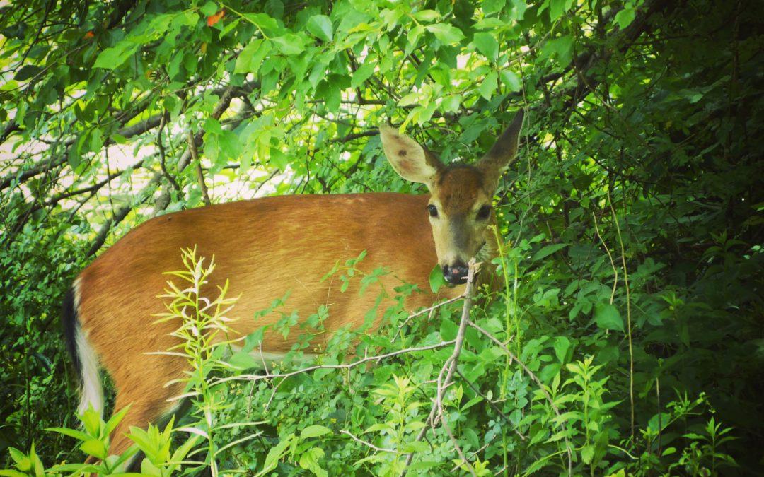 Deer at Rockefeller Stat Park Preserve, JHD
