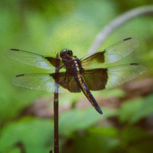 Dragonfly, JHD