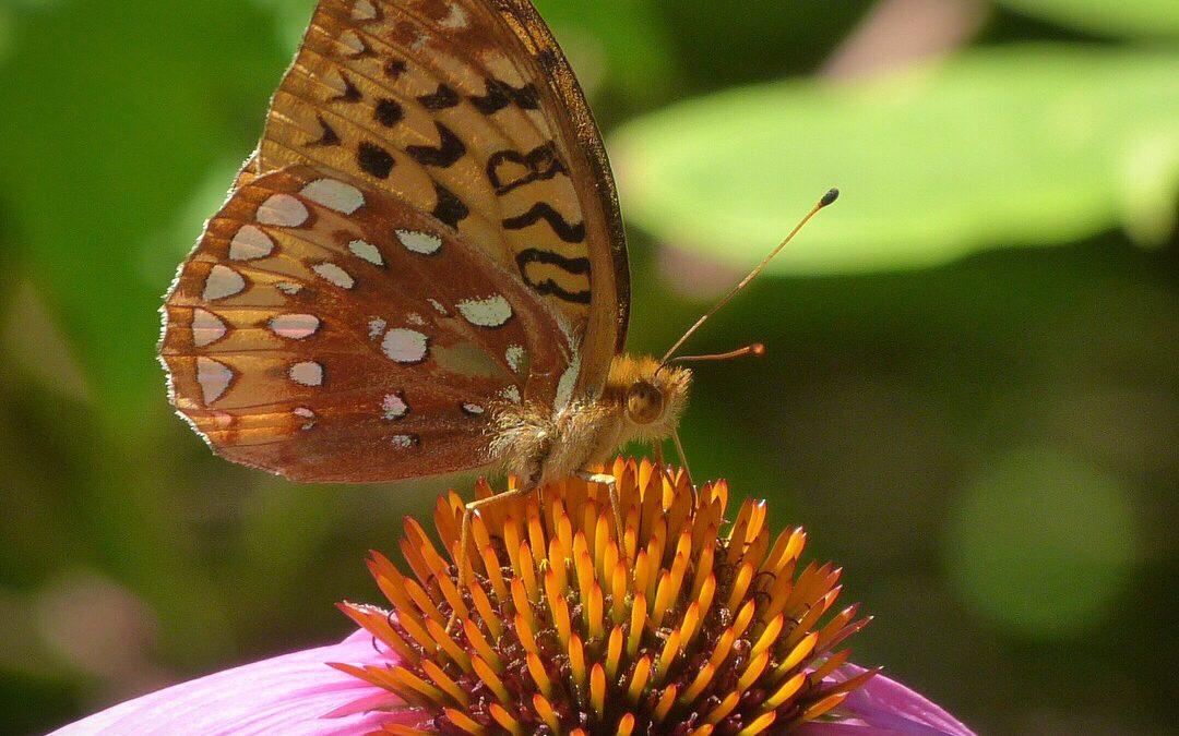 Fritillary Butterfly, JHD
