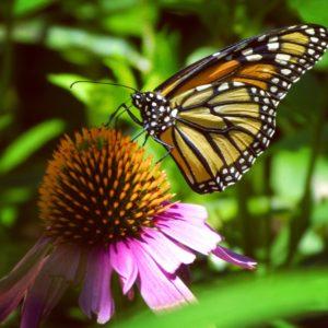Monarch Butterfly, JHD