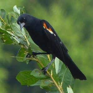 Redwinged Blackbird, JHD