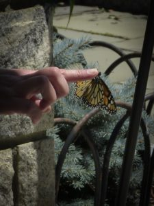 Monarch Butterfly release at Rockefeller State Park Preserve, JHD