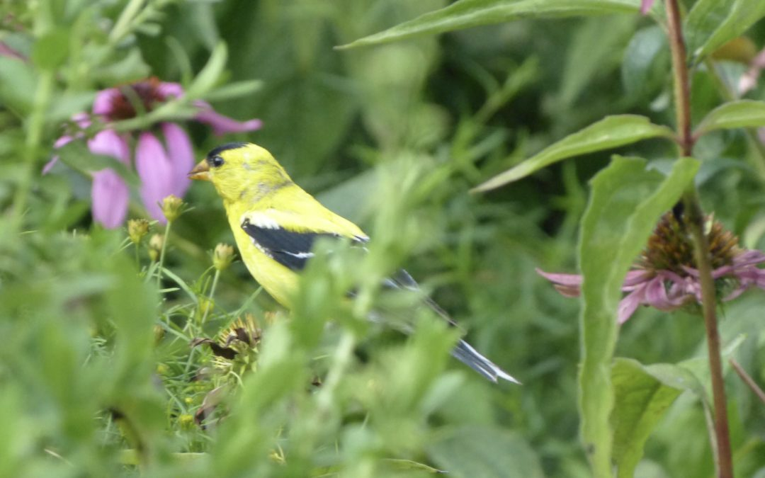 American Goldfinch at Rockefeller State Park Preserve, JHD