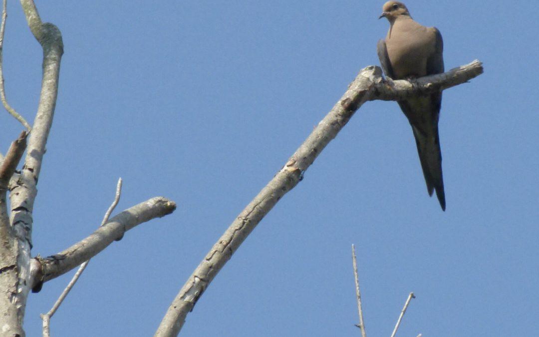 Mourning Dove, Otter Creek Preserve, JHD