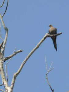 Mourning Dove, Otter Creek Preserve, JHD