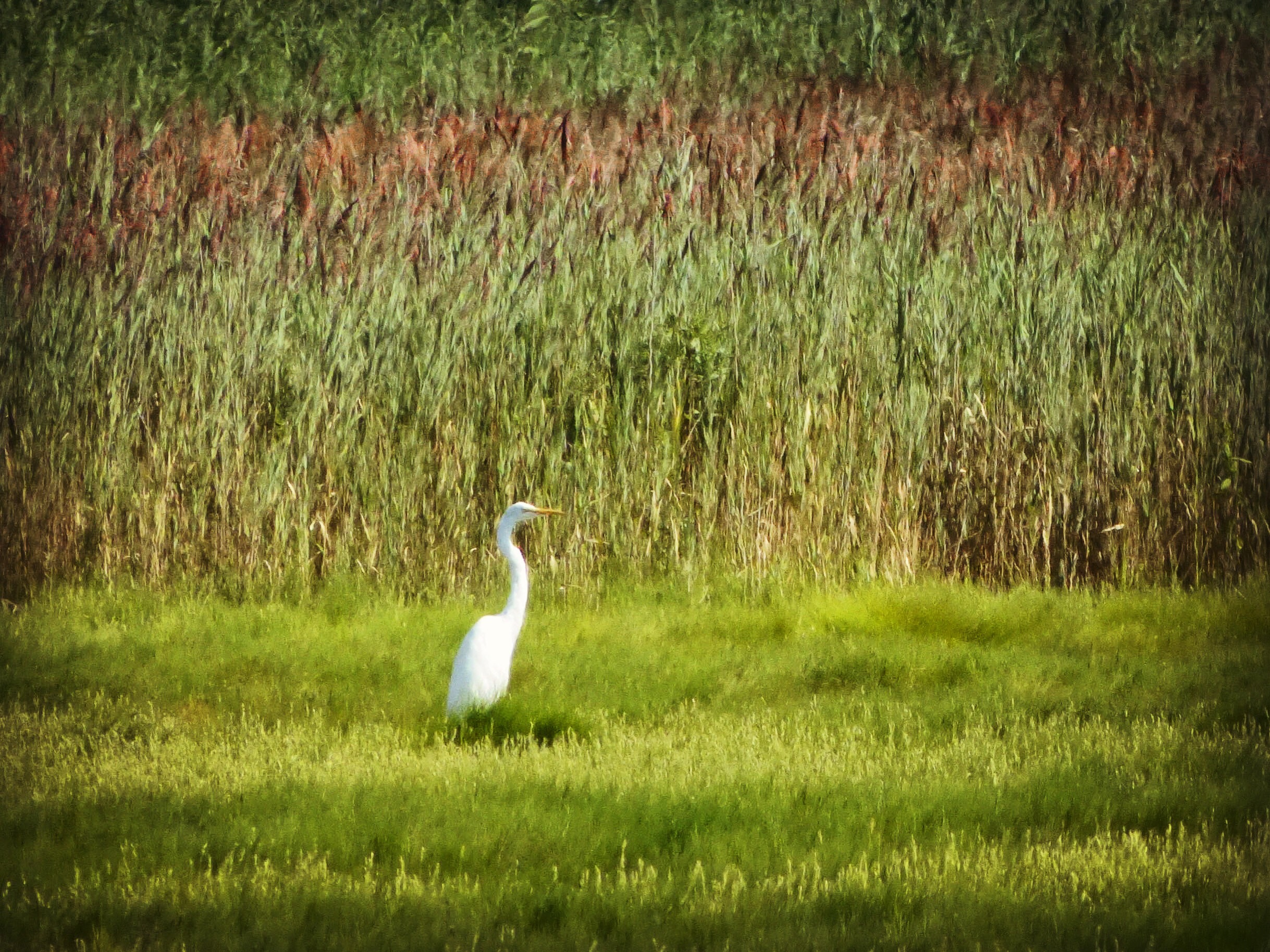 Great Egret, JHD