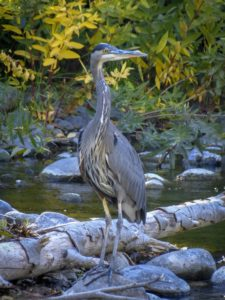 Great Blue Heron, Chico, CA, JHD