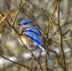 Blue Bird, Rockefeller State Park Preserve, Julie Danan