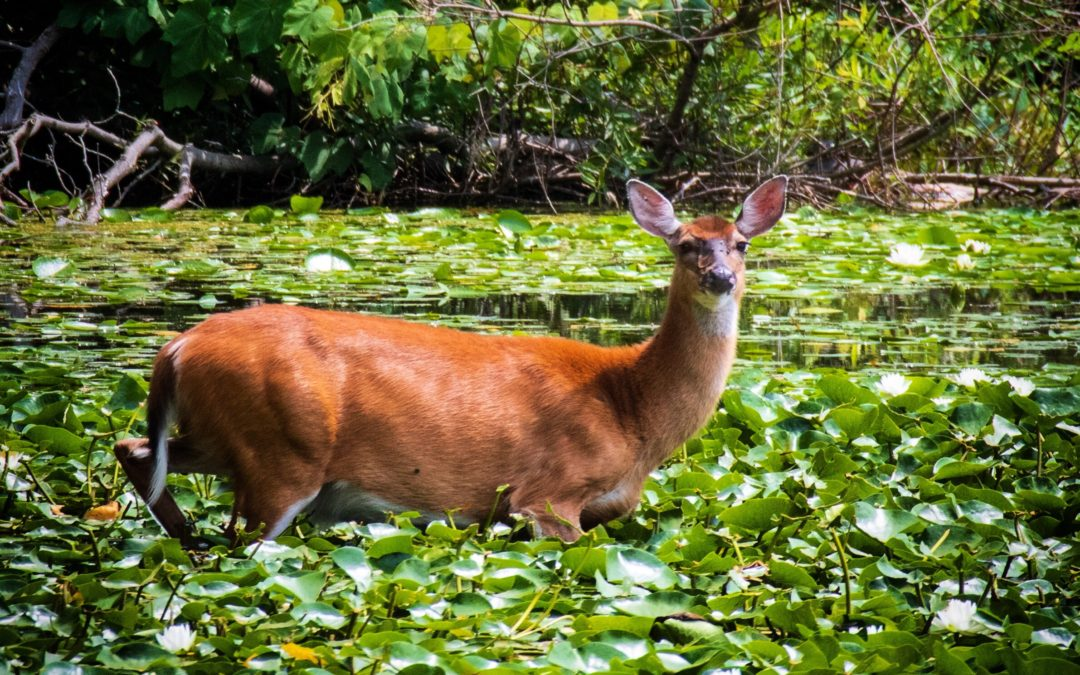 Deer grazing among the water lilies, Rockefeller State Park Preserve, 2019, Julie Danan