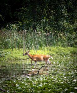 Deer in Swan Lake, Julie Danan