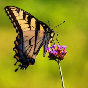 Swallowtail Butterfly, Julie Danan